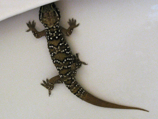 Indian Gecko