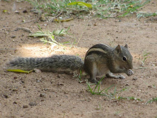 Indian squirrel as a pet