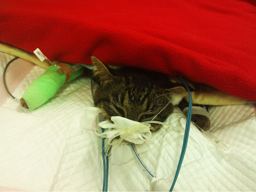 Cat in ICU - Australian brown snake bite