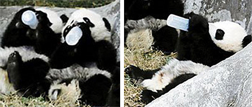 Baby pandas drinking from baby bottles