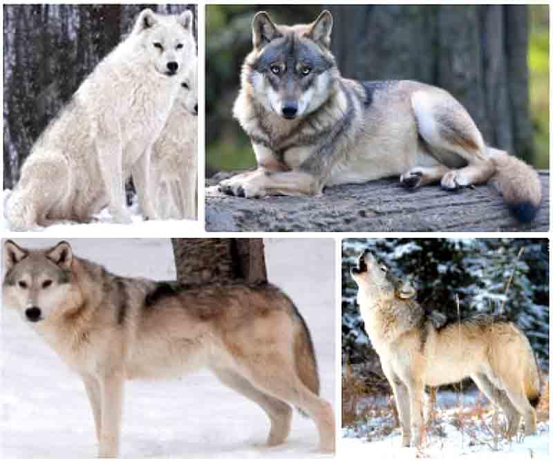 wolf sewing pattern vote